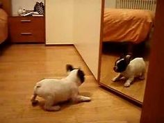 Frenchie VS mirror [VIDEO] ...so adorable beyond belief! Love the little growly barks!