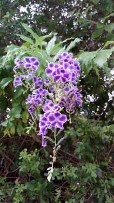 Duranta erecta, Purple duranta tree