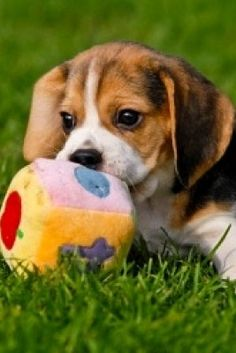 This cute Beagle puppy enjoys playing with her toy... Feel free to re-pin > Click this image to see more cute puppy pictures...