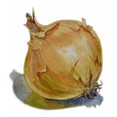 Still Life Painting - Onion by Irina Sztukowski Watercolor Fruit, Watercolor And Ink, Watercolor Paintings, Watercolors, Botanical Illustration, Botanical Prints, Vegetable Painting, Vegetable Illustration, Fruit Painting