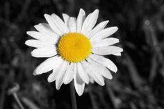Cuadro Morning Daisy I