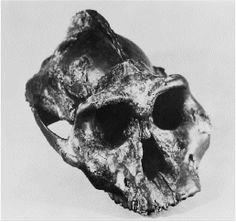 """Paranthropus aethiopicus - WT-17000 - """"Black Skull"""""""
