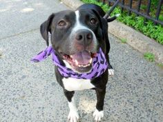URGENT! THIS DOG WILL BE EUTHANIZED UNLESS A HOLD IS PLACED ON HER BY NOON EST 6/2/14.  LOG IN TO THE AT RISK LIST TO PLACE A HOLD AND SAVE A LIFE.  http://www.nycacc.org/PublicAtRisk.htm
