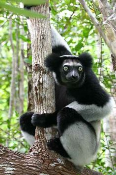 Beautiful and Weird Animals of Madagascar: The Lemur | Scienceray