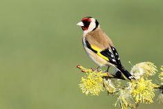 Goldfinch by Jonathan Cornthwaite on 500px
