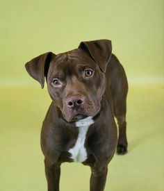 """PUPPY ALERT-- TO BE DESTROYED SUNDAY 2/23/14.  Brooklyn Center - P My name is POLO. My Animal ID # is A0991602.I'm a male chocolate/white pit bull mix. ***BABY ALERT!!! 7 MONTHS old. Volunteer writes: """"I've walked Polo a few times and he's a sweetheart! He seems to have some housetraining,knows sit,pretty good on leash. Very affectionate and playful; a really good dog!"""" So much potential!"""