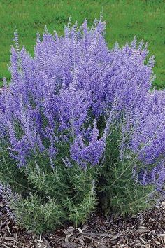 The aromatic blooms of Russian Sage (Perovskia atriplicifolia) start in midsummer and last through midfall with little water or upkeep. The habit of 'Denim 'n Lace' (shown) is perkier than those of other Russian sages, making it a nice fit behind shorter plants in a border. This sage grows up to 32 inches high and wide. Full sun; Zones 4–9