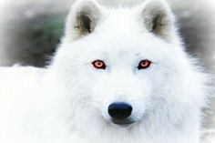 Image of Atka, an Artic Wolf at the Wolf Conservation Center Wolf Love, Arktischer Wolf, Wolf Husky, Wolf Eyes, Gray Wolf, Wolf Pup, Wolf Black, Wolf Images, Wolf Photos
