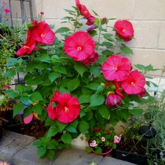 Luna hibiscus: planted some 8/12/12, and it bloomed two days later.  This photo doesn't do justice to its color or size.