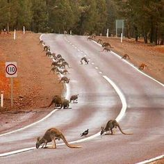 Australia Kangaroos come out to drink water on the road after heavy rain. Courtesy of Bookabee Australia Western Australia, Australia Travel, South Australia, Australia Visa, Wyoming, Australian Photography, Australian Animals, Australian Desert, Fauna