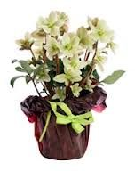 White Hellebore is a winter-flowering plant, giving it the common name Christmas Rose. Flower stems with showy-white blooms appear winter through spring. Flower Pot Garden, Lenten Rose, Plants, Shade Garden, Planting Flowers, Rose Care, Plant Care, Beauty Gardens, Flowers