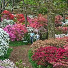 The Overlook Azalea Garden is surely one of the most beautiful places on Earth each Spring, when thousands of shrubs explode into a kaleidoscope of vivid reds, pinks, purples and whites. Description from callawaygardens.com. I searched for this on bing.com/images