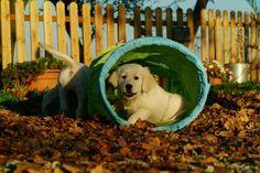 Ambra & Misha's puppies http//:www.aliceingoldenland.com