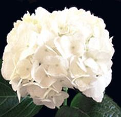 Jumbo White hydrangea with wax,stock, or dendrobium.  Whole blossums.com