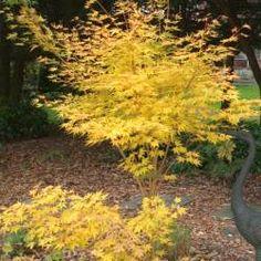 1000 id es sur le th me acer palmatum sur pinterest bonsa bonsa s et rables japonais - Erable du japon orange dream ...