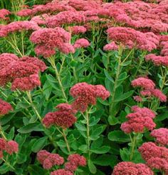 Sedum Autumn Joyblooms pink in September and blooms fade to copper Butterflies love it I usually grow mine in pots as it doesnt like heavy soil Ive had my largest plant f. Fine Gardening, Gardening Tips, Flower Gardening, Organic Gardening, Plant Guide, Large Plants, Plantar, Landscaping Plants, Dream Garden