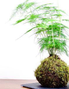 Kokedama Terrarium Plants, Garden Shop, Ferns, Houseplants, Indoor Plants, Bonsai, Greenery, Creative, Floral