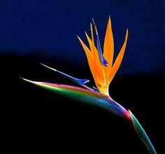 Estrelícia /  Bird of paradise (Strelitzia reginae)  2 by Valcir Siqueira, via Flickr
