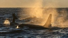 Whale - Andøya, Norway. click on link for lagre photos - nrk.no