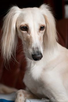 Saluki   ...........click here to find out more     http://googydog.com
