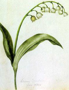 Müguet Alexander Marshall's botanical illustrations