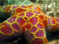MOSAIC SEA STAR    ...   plectaster decanus  .....  found on the south shores of Australia