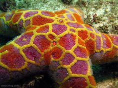 Mosaic Sea Star | by richard ling