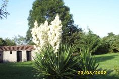 Yucca, a few years ago - before we started (not) looking after it?