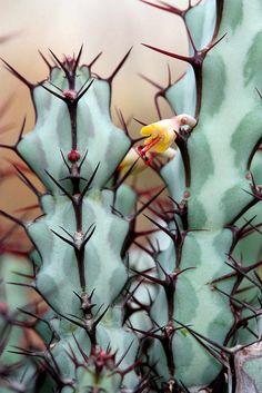 uh the colors & so unusual... 'euphorbia greenwoodii'