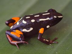Brazil-Nut Poison Dart Frog - Adelphobates castaneoticus - Endemic to Brazil's tropical moist lowland forests and intermittent freshwater marshes, this species of poison dart frog is of the family Dendrobatidae - Image : © Thomas Ostrowski 2006