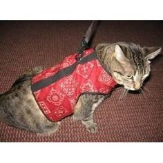 A cat harness so Michelle can take me for a walk outside and get into shape. It'll be a bit of a sight to see, but oh well :)