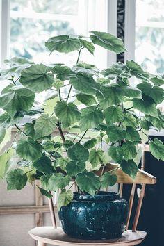 växter Small Plants, Green Plants, Indoor Garden, Indoor Plants, Rama Seca, Forever Green, Plant Science, Big Leaves, Green Life