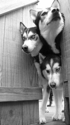Triple Trouble...looking for a place to happen! #siberianhusky