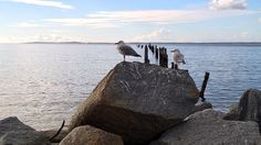 Couple seagulls on rock in front of Old Jetty at Bridport.