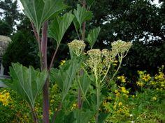 Arnoglossum cacalifolium