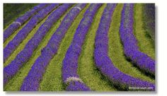 Lavendel, Greith bei Kitzeck Places To Visit, Pictures, Lavender, Tips