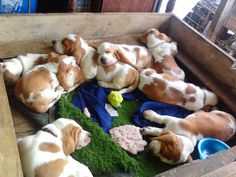 A box of baby bassets!  I want one!  Not one....a boxful!