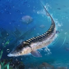 boss european sea sturgeon