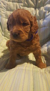 Goldendoodle Miniature Puppy For Sale In Utica Ny Adn 64695 On