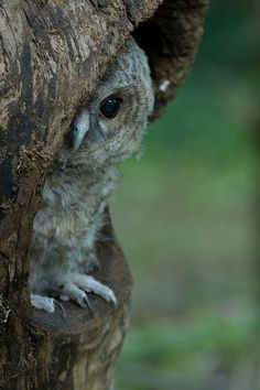 Tawny Owl Pullus (Strix aluco) - Paolo Taranto 1st place (by OwlFest)