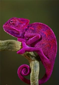 The color is amazing, Fuchsia/Magenta on a Lizard/Chameleon found in the world of Animals. Colorful Animals, Nature Animals, Animals And Pets, Cute Animals, Wild Animals, Tropical Animals, Wildlife Nature, Beautiful Creatures, Animals Beautiful
