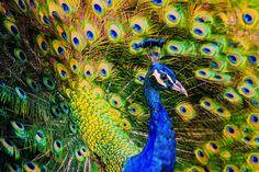 Peacock Painting, Diy Painting, Watercolor Peacock, Pebble Painting, Watercolor Paintings, Most Beautiful Animals, Beautiful Birds, Beautiful Creatures, Unique Animals