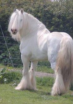 Pure White Gypsy Horse Everything Horse Beautiful Horses, Horses - - jpeg Big Horses, Work Horses, White Horses, Horse Love, Pale Horse, Beautiful Creatures, Animals Beautiful, Cute Animals, Animals Amazing