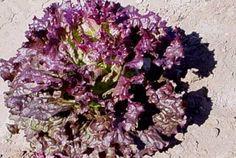 #RubyRed #Heirloom #LeafLettuce Seeds Non GMO
