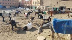 Venta de burros en Rissani
