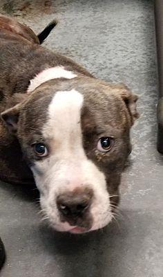 Henderson Nc Pit Bull Terrier Meet Huckleberry Finn A Dog For