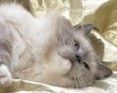 JOHNNIE is an adoptable Ragdoll Cat in Fort Collins, CO.  ...