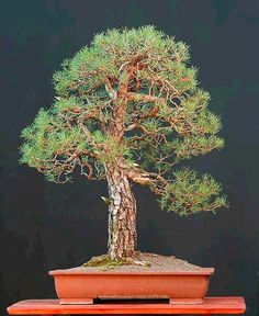 Walters pine tree bonsai, so i can take a piece of home where ever i go.