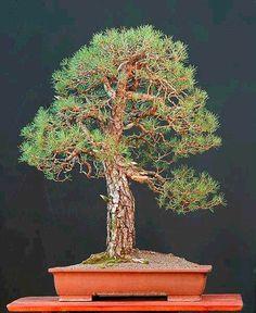 Walters pine tree bonsai, so i can take a piece of home where ever i go.