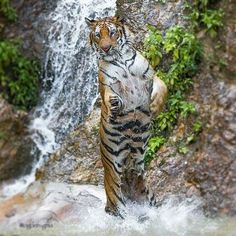 A dancing tiger Big Animals, Animals And Pets, Tiger Images, Pet Boutique, Cute Animal Pictures, Big Cats, Amazing Nature, Beautiful Creatures, Small Dogs